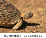 Stock photo leopard tortoise called also mountain tortoise in a south african national park 1378546892