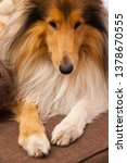 rough collie cute snout on sofa   Shutterstock . vector #1378670555