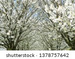 alley with blooming cherry... | Shutterstock . vector #1378757642
