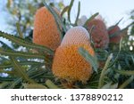 orange banksia commonly known...