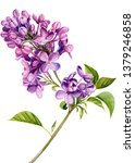 Lilac Flowers On An Isolated...