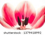 Pink Red Tulip Flower Extreme...