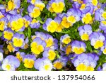 Colorful blue and yellow pansy flowers. Nature background. - stock photo