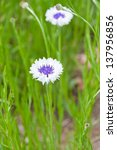 White blue cornflowers in green meadow.  selective focus - stock photo