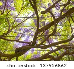 Canopy  of wisteria vines , view from below. - stock photo