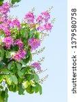lagerstroemia speciosa at... | Shutterstock . vector #1379580758