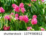 lagerstroemia speciosa at... | Shutterstock . vector #1379580812