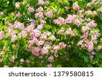 lagerstroemia speciosa at... | Shutterstock . vector #1379580815