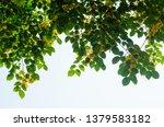 burma padauk or pterocarpus... | Shutterstock . vector #1379583182