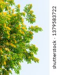 burma padauk or pterocarpus... | Shutterstock . vector #1379583722
