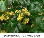 blooming mahogany in spring | Shutterstock . vector #1379624705