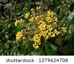 blooming mahogany in spring | Shutterstock . vector #1379624708
