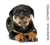 Little Rottweiler Puppy Dog...
