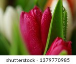 tulip flower close up  with... | Shutterstock . vector #1379770985