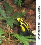 poison dart frog | Shutterstock . vector #13798051