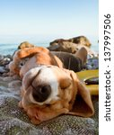 Sunbathing Beagle Puppy...