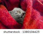 Stock photo gray kitten sleeps in a bright wool blanket 1380106625