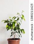 potted ficus benjamin... | Shutterstock . vector #1380211625