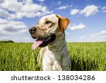 Labrador Retriever In Wheat...