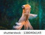 Goldfish In Aquarium.close Up....