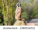 Alert Meerkat Standing On A Rock