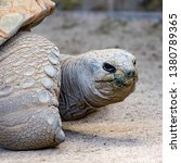 Stock photo an aldraba tortoise in captivity the aldabra giant tortoise from the islands of the aldabra 1380789365