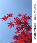 Japanese Red Maple Leaves...