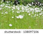 Meadow With White Flowers...