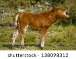 Shetland Pony Foal Yawning