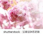 Close Up Of Blossom Sakura Pink ...