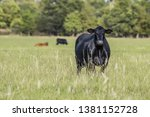 Angus brood cow fat and slick in a summer pasture in the Southern United States with two other cows in the background out of focus.