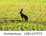 Stock photo roxburgh kelso scottish borders uk th march a european hare also known as the brown 1381157972