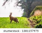 Stock photo kelso scottish borders uk th april brown hares lepus europaeus on arable farmland near 1381157975