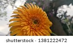 detail of yellow gerbera... | Shutterstock . vector #1381222472