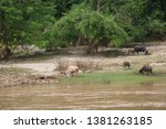 buffaloes at the river side   Shutterstock . vector #1381263185