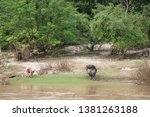 buffaloes at the river side   Shutterstock . vector #1381263188