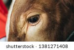 close up of simmental cow  bos...   Shutterstock . vector #1381271408
