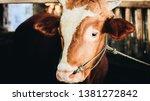 simmental cow  bos taurus ...   Shutterstock . vector #1381272842
