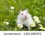 Stock photo white hamster against the background of a beautiful spring 1381288592