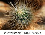 close up of brown cactus exotic ... | Shutterstock . vector #1381297025