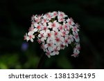 close up of pastel rosa little... | Shutterstock . vector #1381334195