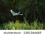 White Aigrette Flying Over The...