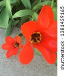 Two Bright Red Tulips With...