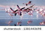 Flying flamingo in lake nakuru  ...