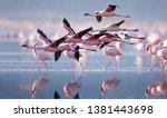 Flying flamingo in lake nakuru  ...