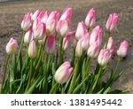 tulip blooming in the garden.  | Shutterstock . vector #1381495442