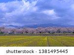 sakura flower bloom in japan ... | Shutterstock . vector #1381495445