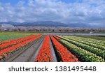 tulips and sakura plantations... | Shutterstock . vector #1381495448
