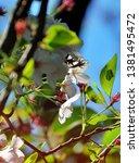 sakura flower bloom in the... | Shutterstock . vector #1381495472