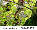sakura blooming in the garden. | Shutterstock . vector #1381495475
